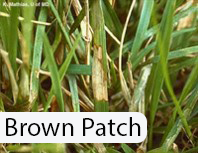 Brown-Patch