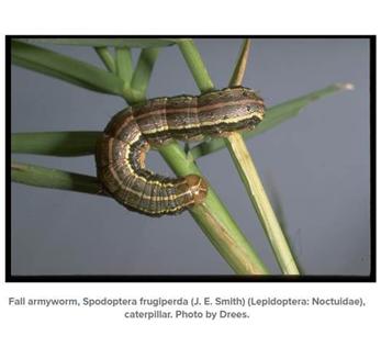 Fall Armyworm