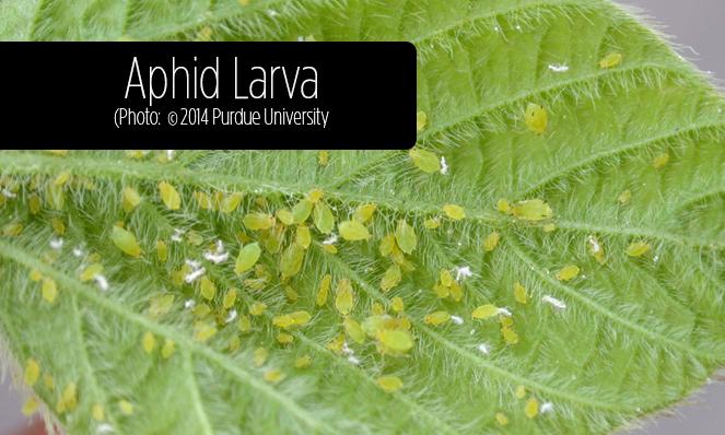 Aphid Larva