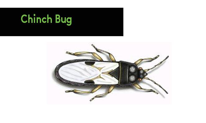 chinch bug
