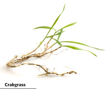 crabgrass image