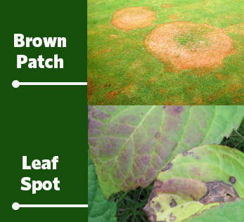 brown patch and leaf spot