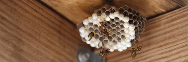 hornets_nest.wasps_BLOG_gphic
