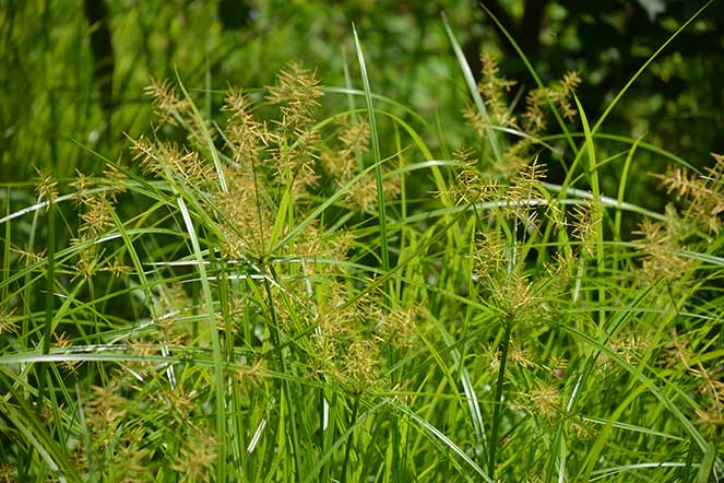 Example picture of Nutsedge
