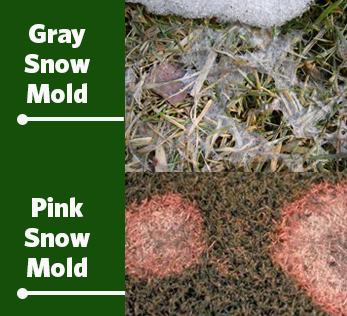pink and gray snow mold