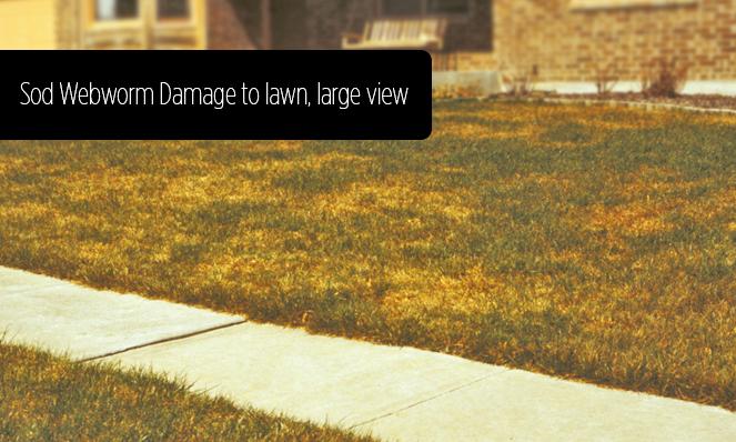Sod Webworm Damage