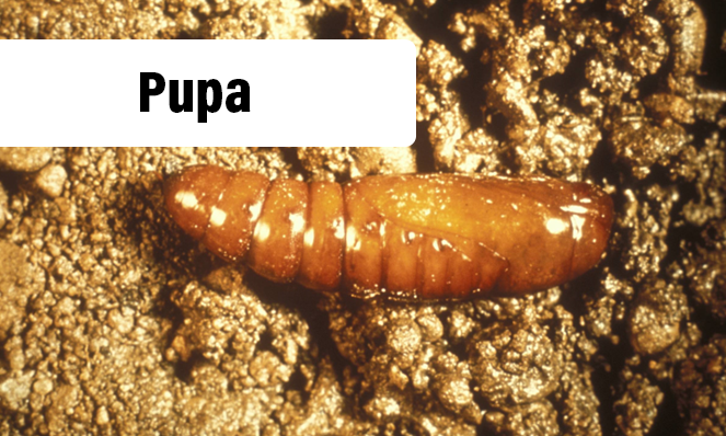 Sod Webworm Pupa