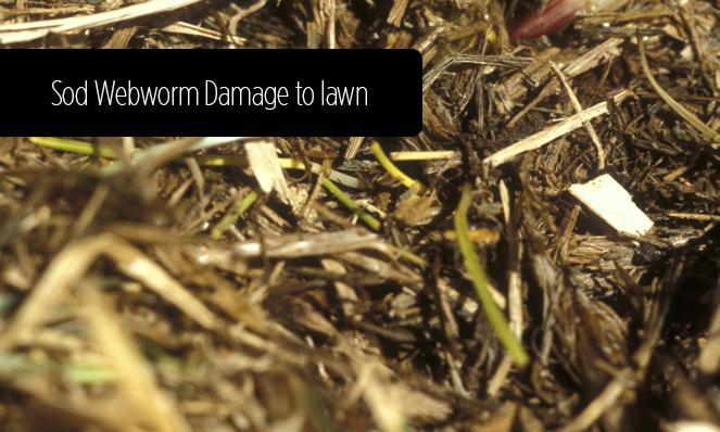 Sod Webworm Upclose Damage
