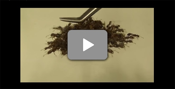 Fire-Ant-Video-Screenshot