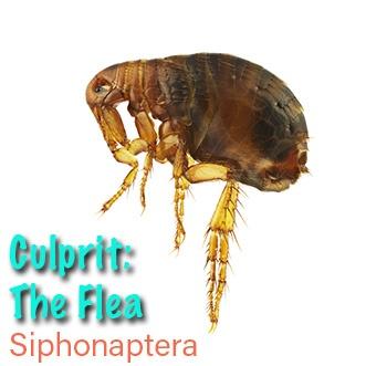 Flea-2