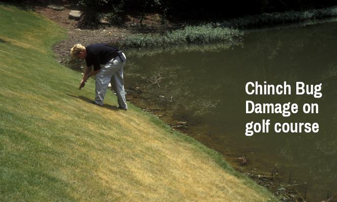 chinch-bug-damage-on-golf-course