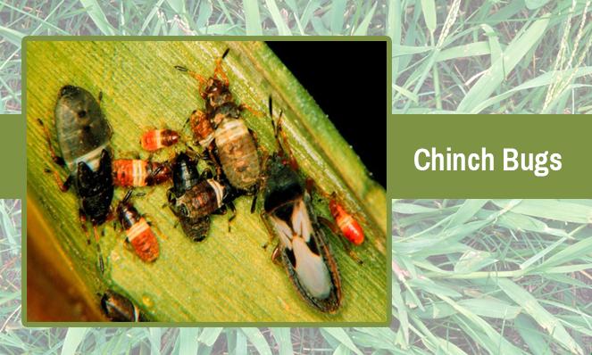 chinch-bugs