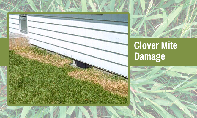 clover-mite-damage