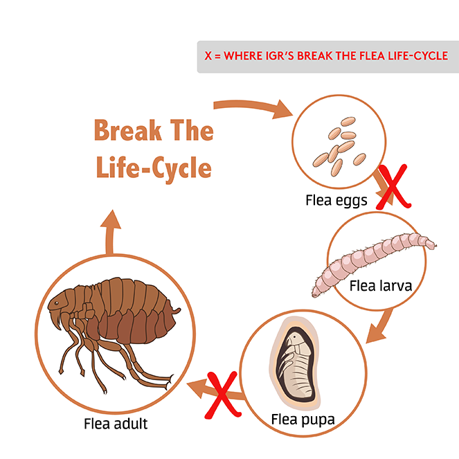 Flea Life Cycle Illustration