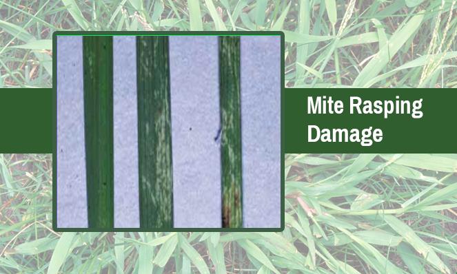 mite-rasping-damage