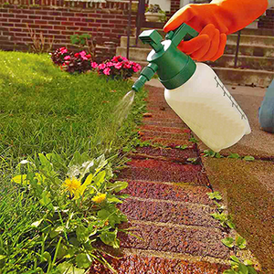 spraying dandilion