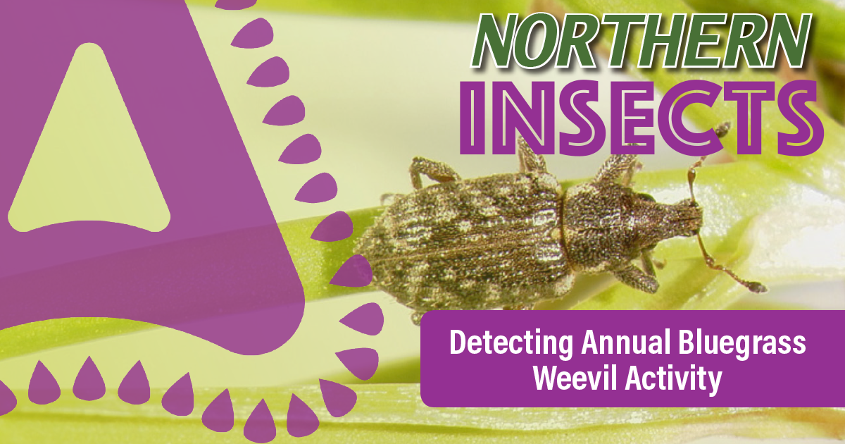 how-to-detect-annual-bluegrass-weevil-activity