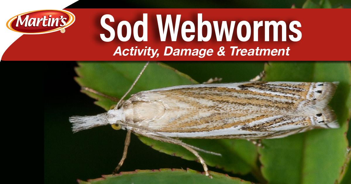 sod-webworm-blog-image